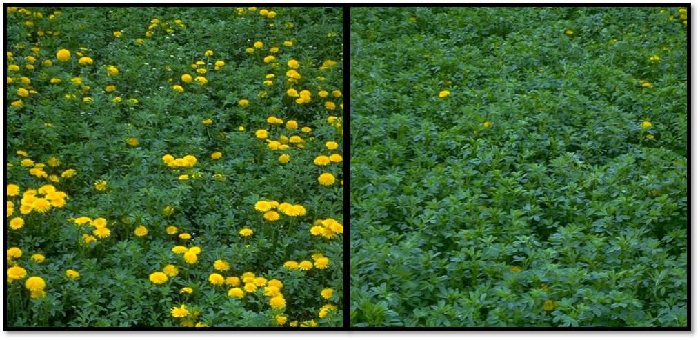 Weedy vs Weed-free alfalfa