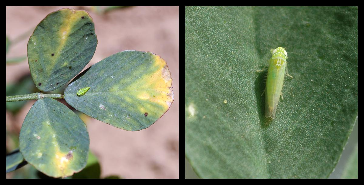 Images of potato leafhopper.