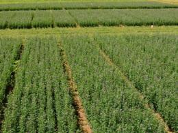 Alfalfa variety plots