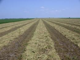 Hay windrow