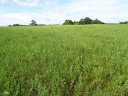 Alfalfa with fall armyworm damage