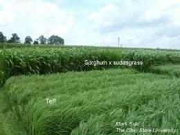 Summer annual grasses for forage