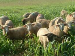 Lambs grazing sorghum sudangrass