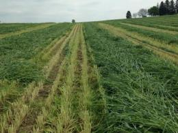 Winter cereal forage swaths in the field