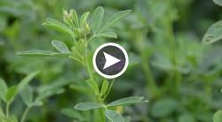 Estimating Alfalfa Quality in the Field