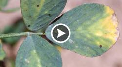 Potato Leafhopper Identification and Damage in Alfalfa